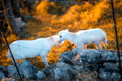 Sheeps on the field at sunset Stock Images