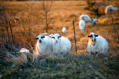 Sheeps on the field at sunset Stock Photos