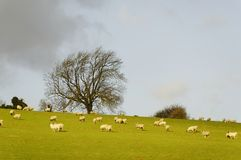 Sheeps in a field in winter Royalty Free Stock Photo