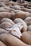 Sheeps in flock Stock Photos
