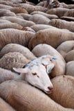 Sheeps in flock Stock Photos