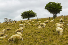 Sheeps flock Grassing at Omana Auckland New Zealand; Regional Park Royalty Free Stock Image