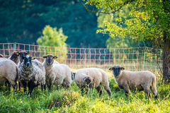 Sheeps. Flock of sheeps in a group outdoors Stock Photo