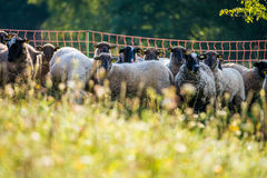 Sheeps. Flock of sheeps in a group outdoors Royalty Free Stock Image