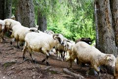 Sheeps flock on a mountain landscape. Sheeps flock descending on a Romanian mountain landscape Stock Photos