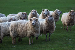 Sheeps. Flock of sheep in the field in spring Royalty Free Stock Image