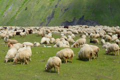 Sheeps. Flock of sheep in a pasture in the mountains Stock Images