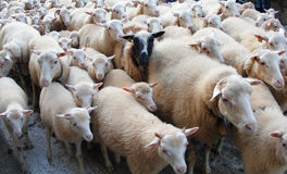 Sheeps on flock walking to their blessage Royalty Free Stock Photography