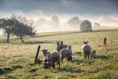 Sheeps_fog Stock Foto