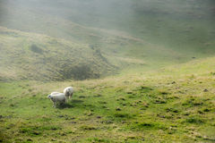 Sheeps in foggy mountains Royalty Free Stock Photo