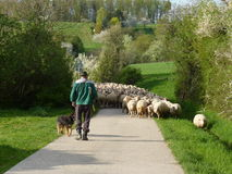 Sheeps follow shepherd Royalty Free Stock Image