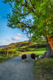 Sheeps on footpath in the Lake District, England Royalty Free Stock Photography