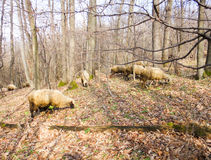 Sheeps in the forest. Of Serbia Stock Photography