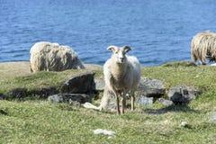 Sheeps framme av Atlantic Ocean Fotografering för Bildbyråer