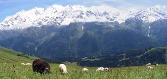 Sheeps in French Alpes mountains Royalty Free Stock Images