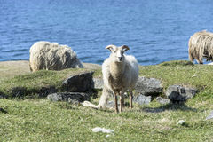 Sheep in front of Atlantic Ocean Stock Image