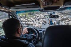 Sheeps in Georgië Royalty-vrije Stock Afbeeldingen