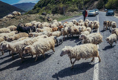 Sheeps in Georgië Royalty-vrije Stock Foto's