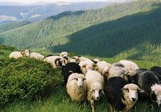 Sheeps go. Ukraine. Carpathian mountains. Sheeps go on mountains Royalty Free Stock Photo