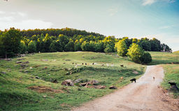 Sheeps and Goats at the green field with forest. Royalty Free Stock Image