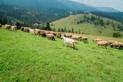 Sheeps and goats on the pasture in summer. Sheeps and goats on the pasture in the country in summer in Ukraine royalty free stock photos