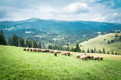 Sheeps and goats on the pasture in summer. Sheeps and goats on the pasture in the country in summer in Ukraine stock photography