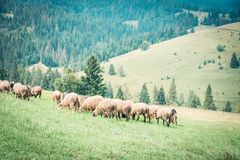 Sheeps and goats on the pasture in summer. Sheeps and goats on the pasture in the country in summer in Ukraine royalty free stock photo