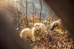 Sheeps and goats royalty free stock photography