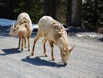 Sheeps grandes del claxon Foto de archivo libre de regalías