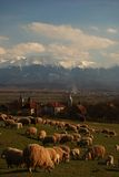Sheeps at grass. Fagaras Mountains and sheeps at grass near Avrig town Royalty Free Stock Photos
