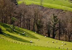 Sheeps on the grass Stock Images