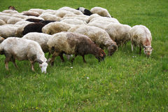Sheeps on the grass Stock Image
