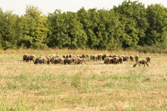 Sheeps on a grass field with trees Royalty Free Stock Image