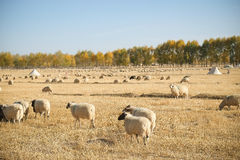 Sheeps on the grassland. There are many sheeps on the grassland where in the westen of China Royalty Free Stock Photography
