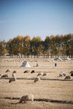 Sheeps on the grassland. There are many sheeps on the grassland where in the westen of China Stock Image