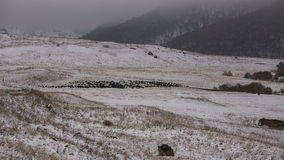 Sheeps graze on the Alpine slopes of high mountains of the Caucasus in the late autumn. stock video