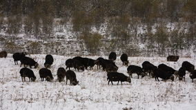Sheeps graze on the Alpine slopes of high mountains of the Caucasus in the late autumn. Russia, Republic of Kabardino-Balkaria. Sheeps graze on the Alpine stock footage