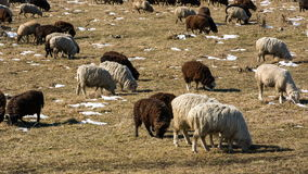 Sheeps graze on the Alpine slopes of high mountains of the Caucasus in the late autumn. stock footage