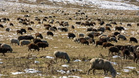 Sheeps graze on the Alpine slopes of high mountains of the Caucasus in the late autumn. Russia, Republic of Kabardino-Balkaria. Sheeps graze on the Alpine stock video footage
