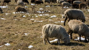 Sheeps graze on the Alpine slopes of high mountains of the Caucasus in the late autumn. Russia, Republic of Kabardino-Balkaria. Sheeps graze on the Alpine stock video