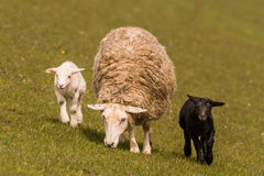 Sheeps graze on the dike Stock Photo