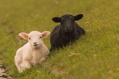 Sheeps graze on the dike Stock Image