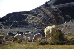 Sheeps graze Royalty Free Stock Image