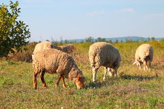 Sheeps graze on the meadow Royalty Free Stock Image