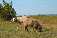 Sheeps graze on the meadow Royalty Free Stock Photo