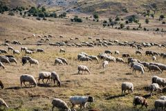 Sheeps graze on a meadow. Sheeps graze on a mountain meadow at sunset in Greece Royalty Free Stock Image