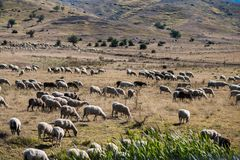 Sheeps graze on a meadow. Sheeps graze on a mountain meadow at sunset in Greece Stock Photo