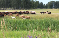 Sheeps grazes on a meadow. Royalty Free Stock Image