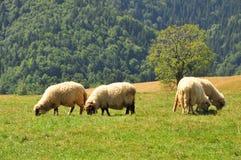 Sheeps grazing. Cindrel Mountains,Romania royalty free stock photo