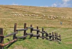 Sheeps grazing. Few sheeps driven by a shepherd in Sibiu county,Romania stock image